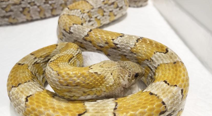 丸呑み ヘビ